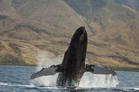 Hawaii, West Maui, A Humpback Whale breaching