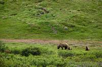 Brown Bear sow with two cubs foraging though the b
