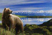 Grizzly stands in front of lake with Mt. Mckinley