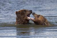 Grizzly bears playing in the water at the Alaska W