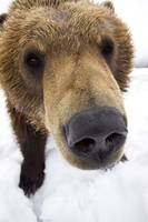 Extreme close up of brown bear at the Alaska Wildl