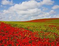 An Abundance Of Red Poppies In A Field Corbridge,