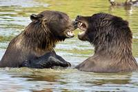 Grizzly Bears play fighting at the Alaska Wildlife