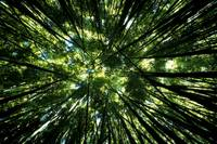 Hawaii, Bamboo Tree Forest, View Upward Toward Tre