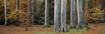 View Of Autumnal Tree Trunks, Powerscourt Woods, C