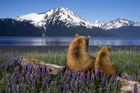 Grizzly sow and cub sit on log and view Turnagain