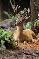Oregon, Black-Tailed Deer,