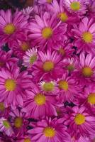 A Cluster Of Pink Painted Daisies