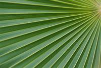 Hawaii, Detail Of Fan Palm