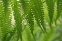 Hawaii, Detail Of Ferns