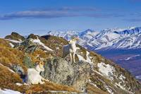 Two Dall sheep rams resting on a ridge in Denali N