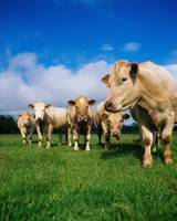 Cattle, Charolais