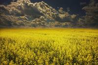 Alberta, Canada A Canola Field Under Clouds
