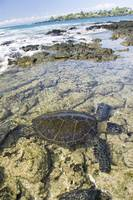 Hawaii, Green Sea Turtle An Endangered Species