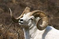 Close up portrait of a full curl Dall Sheep ram, D