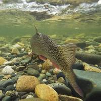 Underwater view of a rainbow trout swimming upstre