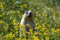 Hoary Marmot stands upright in a field of wildflow