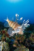 Fiji, Close-Up Side View Lionfish Over Coral Reef