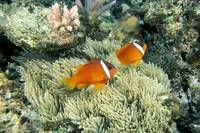 Fiji, Dusky Clownfish, Pair Swim Over Anemone