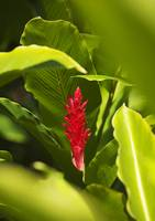 Red Ginger Flower Between Green Leaves