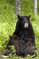 Mother black bear nursing spring cubs in forest, M