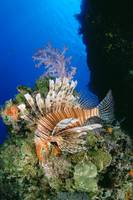 Fiji, Lionfish And Alcyonarian Coral
