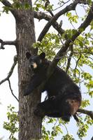 Black bear in a cottonwood tree at Alaska Wildlife