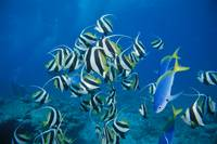 Fiji, Schooling Longfin Bannerfish, Diver in Backg