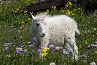 Baby Mountain Goat standing a a field of wildflowe