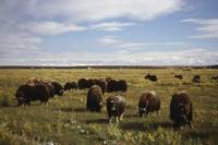 Herd of musk ox graze in a field
