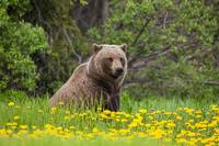 Brown Bear Forages On Dandelions, Alsek-Tatenshini
