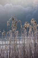 Frozen Reeds At The Shore Of A Lake, Cumbria, Engl