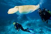 Palau, Micronesia. Two Divers Swim Near A Common C