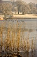 Frozen Water Around Reeds At Shoreline