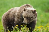 Brown Bear Forages On Dandelions, Yukon, Canada