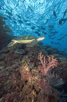 Malaysia, Sipidan, Green Sea Turtle On Reef With S
