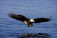 A bald eagle swoops in with talons extended to cat