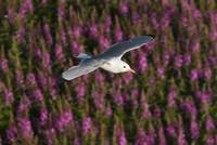 Black legged Kittiwake flying over a field of fire