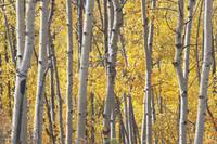 Aspen Trees In Autumn, Kananaskis Country, Alberta