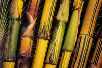 Hawaii, Maui, Closeup Of Bamboo Stalks