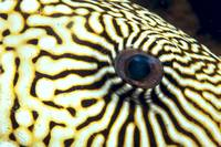 Extreme Close-Up Of The Eye Of A Map Pufferfish