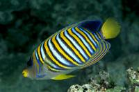 Fiji, Regal Angelfish Close-Up Side View