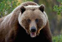 Closeup Of Brown Bear Yukon Territory Canada Sprin