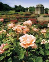 Roses in the Irish National War Memorial Gardens,
