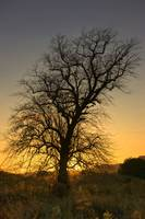 Silhouette Of Tree At Sunset, Argyll And Bute, Sco