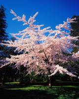 Tree In Blossom in Powerscourt Gardens, Powerscour