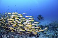 Hawaii, Maui, Schooling Bluestripe Snapper, And A