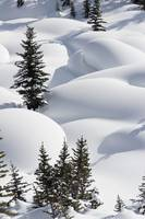 Trees In Snow Drifts At Lake Louise, Banff Nationa