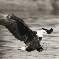 """Alaska Tongass National Forest Bald Eagle huntin"" by Design Pics"