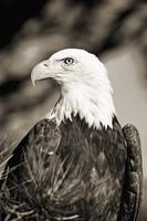 Colorado, Close-up of Bald Eagle sitting in ponder